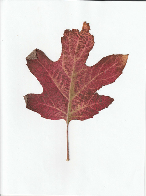 one red leaf.jpg