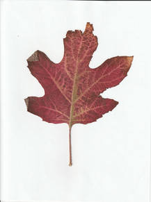 one red leaf.jpg