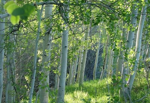 Narnia Aspens.jpg