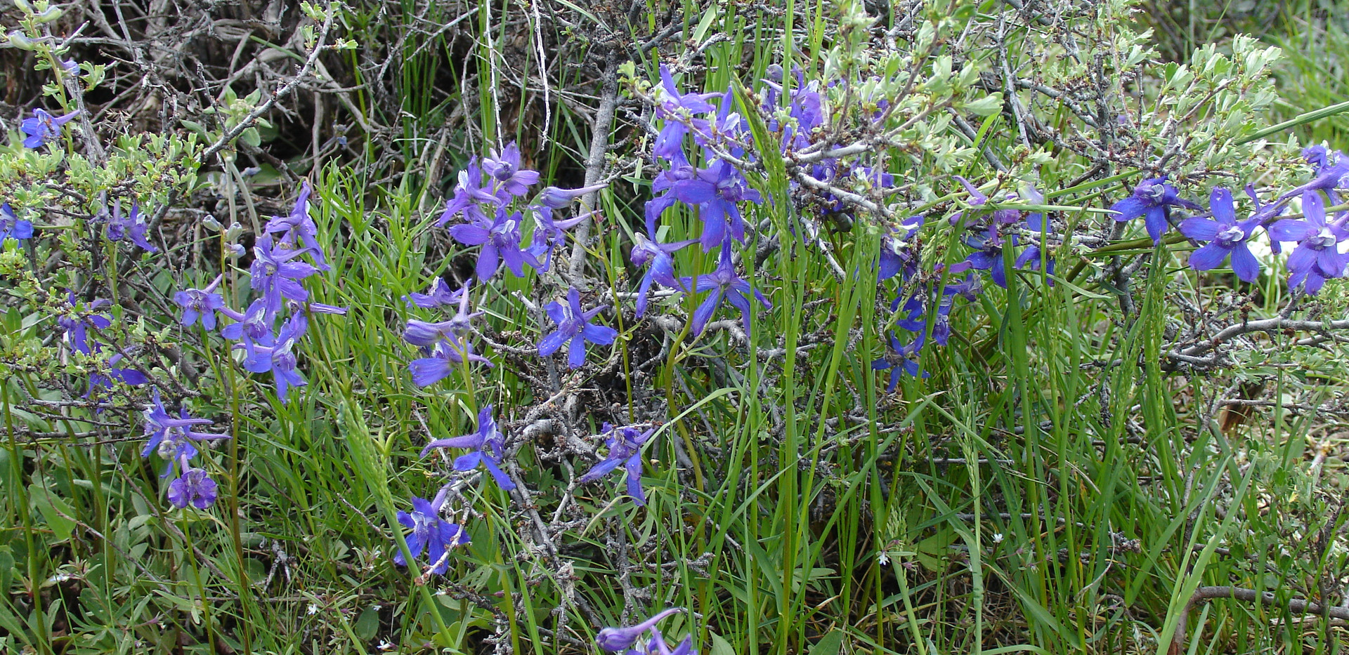 Early Larkspur