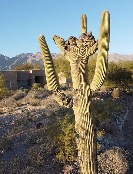 crested saguaros march 1 03.jpg