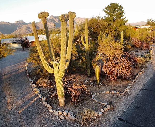 crested saguaros march 1 01.jpg