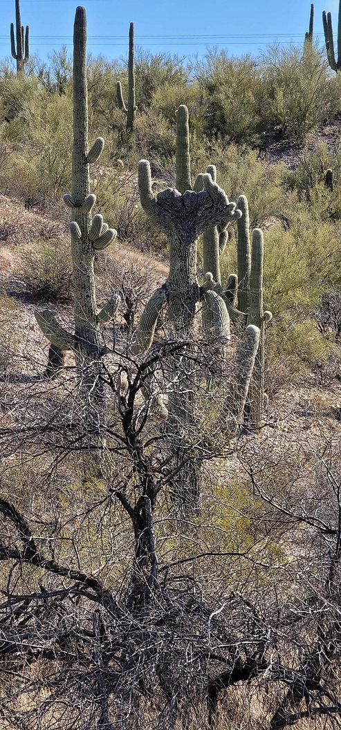 saguaro Jerry01.jpg