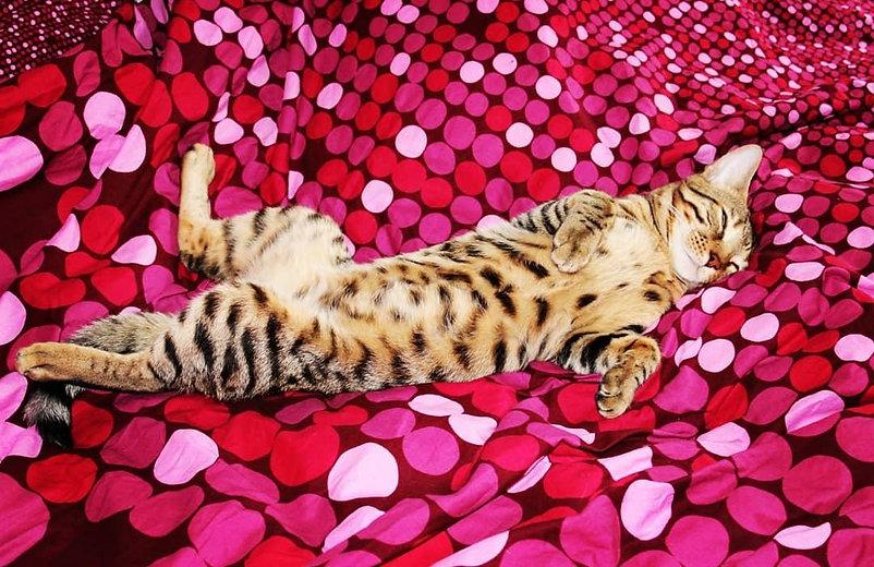 Lazy bengal cat having a nap;)