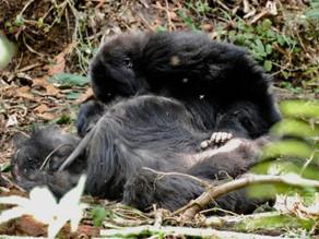 How Gorillas Grieve