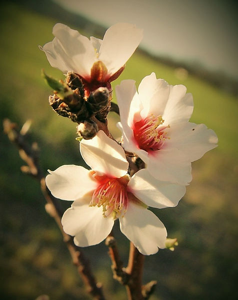 almond blossom_edited.jpg