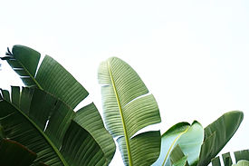 Group of big green banana leaves of exotic palm tree in sunshine on white background. Trop