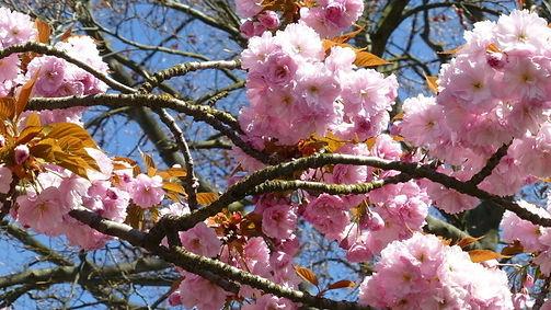 Cherry blossom MR.jpeg