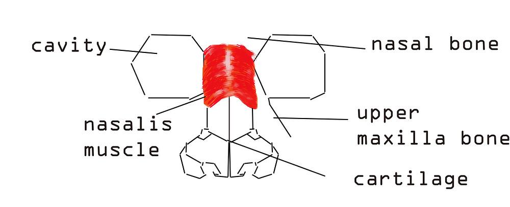 basic nose anatomy