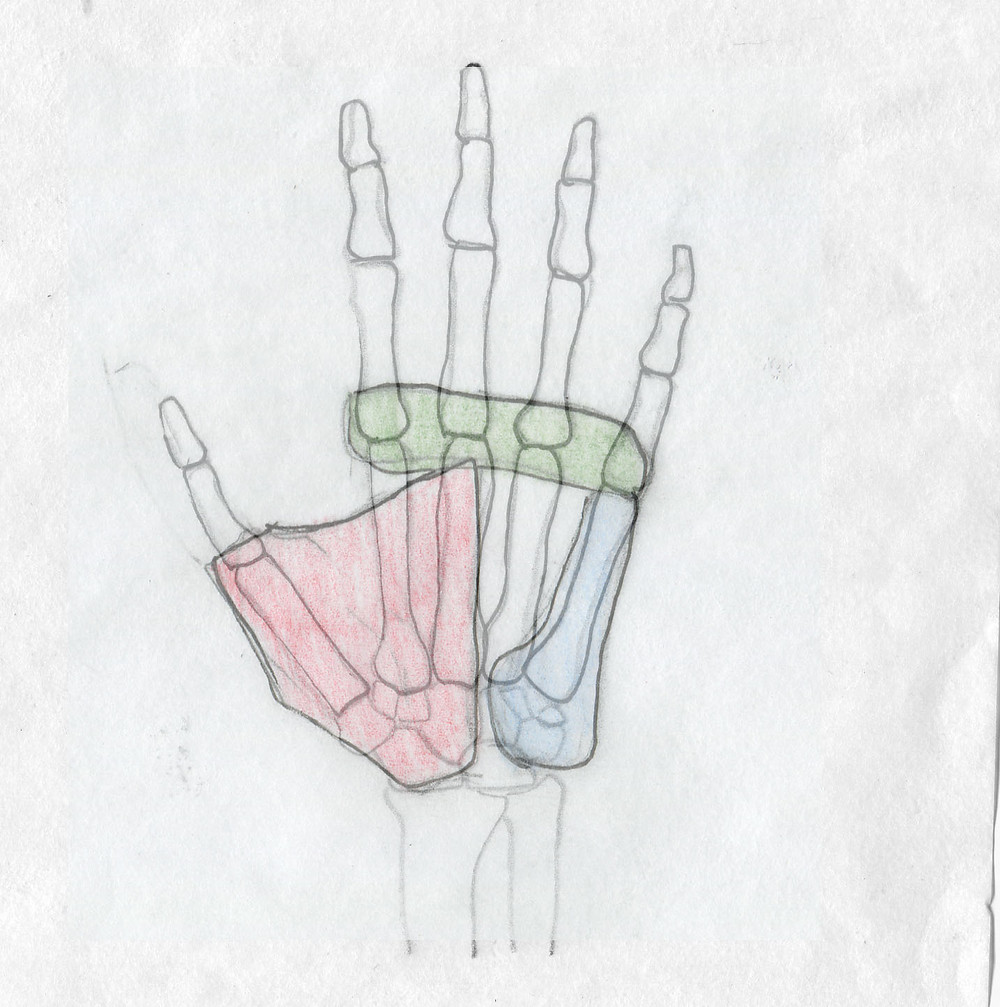 knuckle, thenar, hypothenar groups of the hand