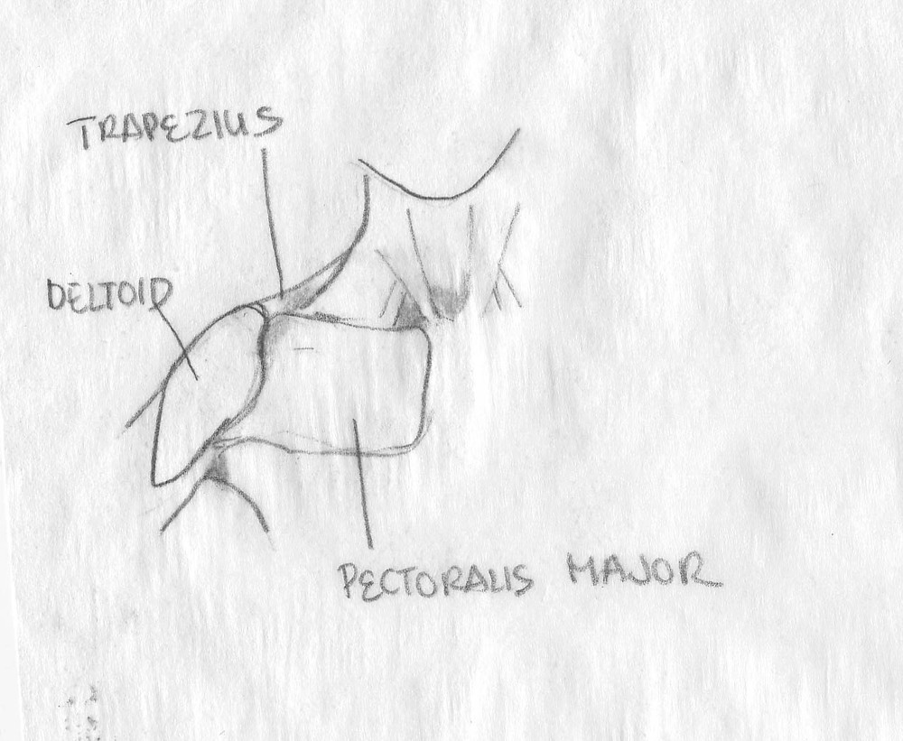 deltoid, trapezius, and pectoralis major muscles