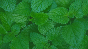 Lemon Balm: A powerful herbal medicine for our time