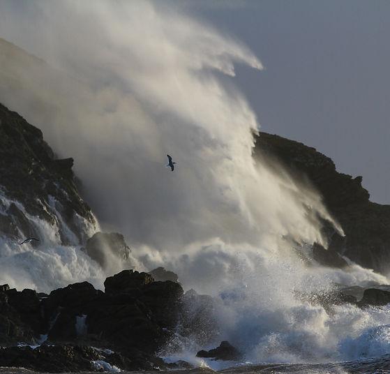 Herring Gull in waves.jpg