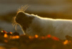 Grey Seal pup.jpg