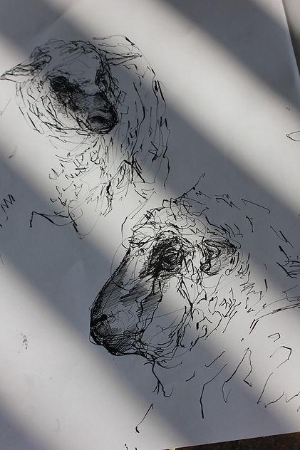 S Newton Sheep drawings.jpg