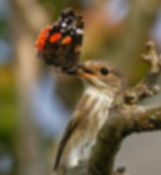 Spotted Flycatcher.jpg