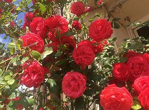 Roses in France.JPG