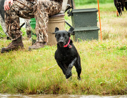 Labrador Retriever launches