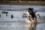 A labrador retriever brings in a duck during a hunt test.