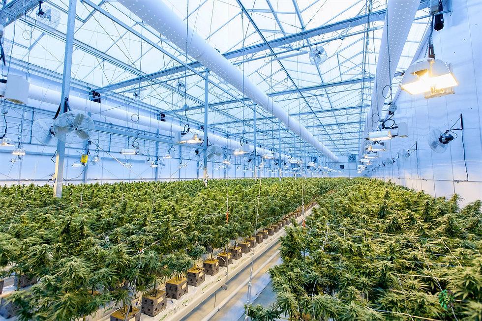 Puff cannabis Detroit Michigan