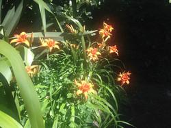 Day Lillies.jpg