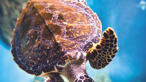 Die Life-Lens-Schildkröte
