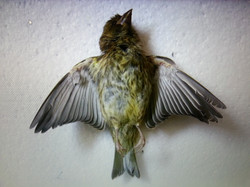 Finch 2012.jpg