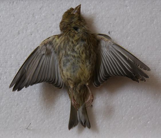 Green Finch 2013