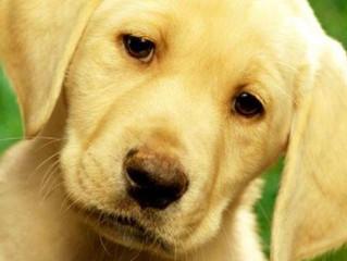 Lidah Buaya Obati Budukan Anjing