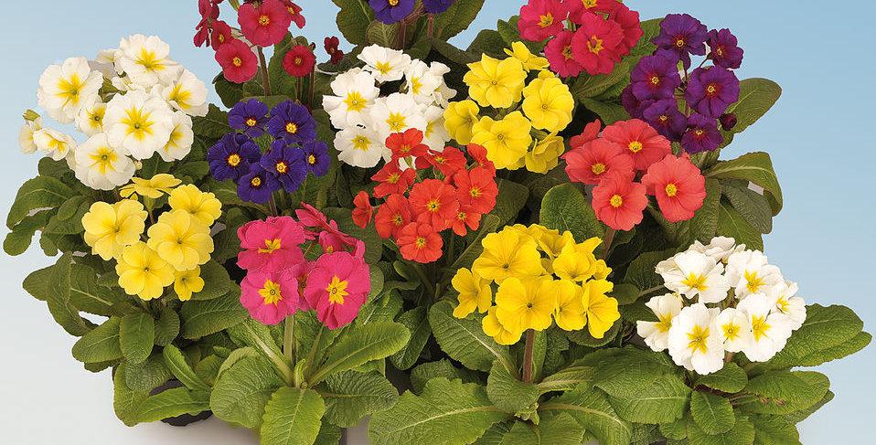 Pierwiosnki (primula) w różnych kolorach
