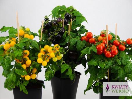 Pomidor doniczkowy w 4 kolorach