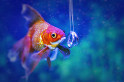 свадебная рыбка
