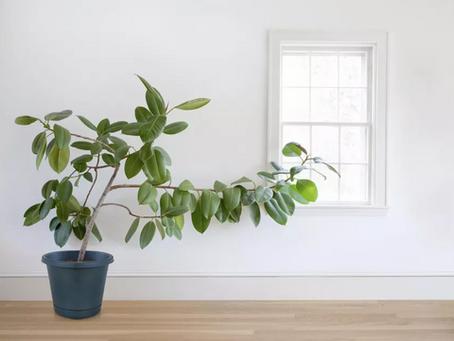 Ficus é a nova queridinha dos apaixonados por plantas