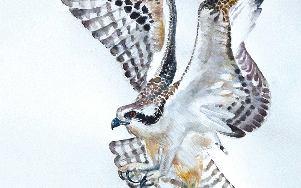 Ozzey Osprey