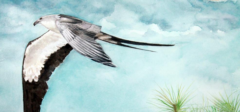 Amelia Island Swallow Tail Kite