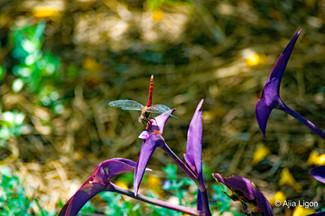 Dragonfly In The Garden