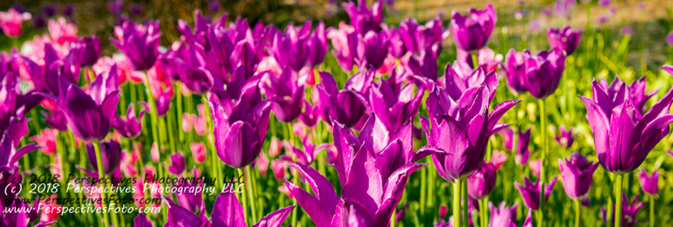 "1277 - ""Lily-Flowered Tulip - Purple Dream #2"" - Ltd Ed Metal Print (assorted)"