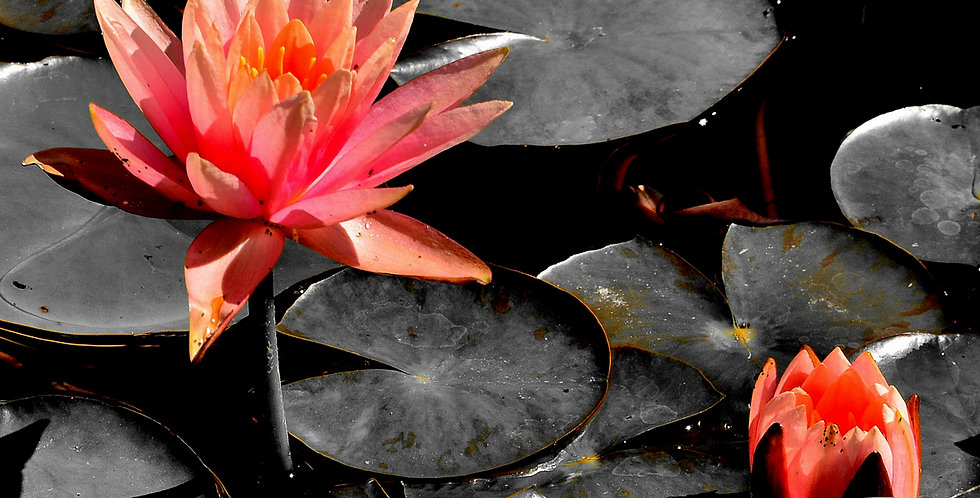 "1036 - ""Peach Lily"" - Limited Edition Metal Print  (assorted sizes)"