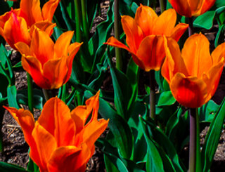 "1155 - Lily-Flowered Tulip - Ballerina"" - Ltd Ed Metal Print (assorted)"
