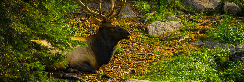 "1229 - ""Wapiti Rest #2"" - Ltd Ed. Metal Print  (assorted sizes)"