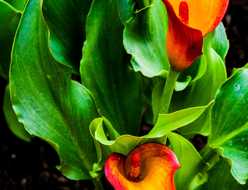 "1098 - ""Calla Lily Fiesta #1"" - Ltd Ed. Metal Print  (assorted sizes)"