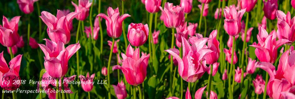 "1278 - ""Lily-Flowered Tulip - Mariette #1"" - Ltd Ed Metal Print (assorted sizes)"