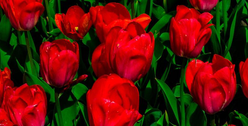 "1152 - ""Darwin Hybrid Tulip - Van Eijk"" - Ltd Ed Metal Print (assorted sizes)"