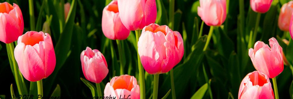 "1274 - Single Late Tulip - Menton #1"" - Ltd Ed Metal Print (assorted sizes)"
