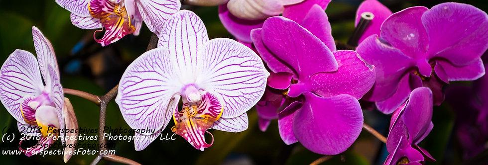 "1080 - ""Phalaenopsis Hybrid Moth Orchid#3"" - Ltd Ed Metal Print (assorted sizes)"