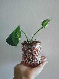 small-plant-peperomia.jpg