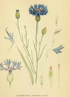 Botanische prent Korenbloem