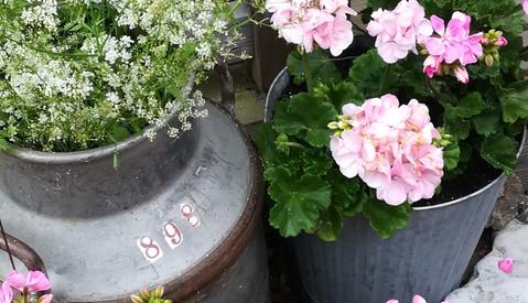 Blomsterstuga Zweden pelargon