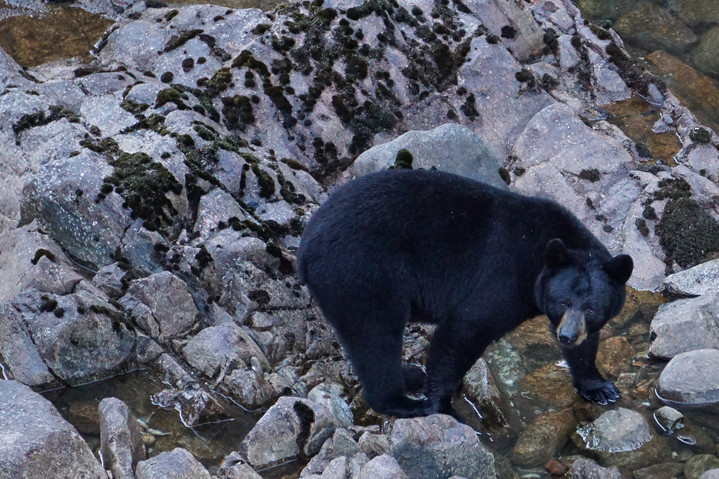 Black Bear on the Rocks