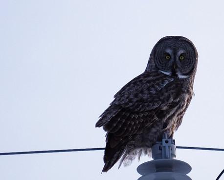 Great Grey Owl Gaze